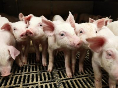 Per Fuglsang svineproduktion Mors Fravænningsstald